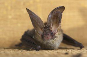 Brown Long-eared Bat (Plecotus auritus)