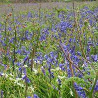 Bluebell Identification
